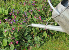 Galvanised metal watering can watering a garden. A galvanised metal watering can close up watering the flowers in a garden royalty free stock photo