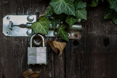 Galvanised padlock. On an old shed with ivy stock images