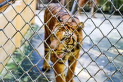 Galvanize net. The iron or galvanize net has protecting tiger attack royalty free stock photo