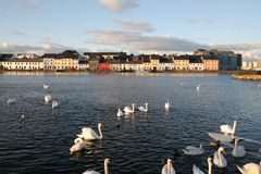 Galway. A group of swans swimming in water by old buildings in Galway, Ireland Stock Photos