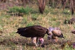 Gam från masaien Mara kenya Arkivbild