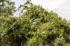 Gam Guineafowl i ett träd i Serengeti Arkivfoton