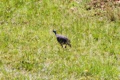 Gam Guineafowl i gräset Arkivfoton