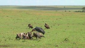 Gam och en stork Serengetien stock video