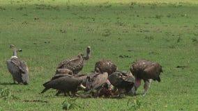 Gam och en stork Serengetien lager videofilmer