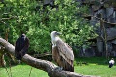 Gam och kondor Arkivfoton