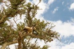 Gam på ett träd mara masai Royaltyfria Foton
