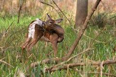 gama Blanco-atada de los ciervos Fotografía de archivo