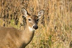 gama Blanco-atada de los ciervos en malas hierbas Imágenes de archivo libres de regalías