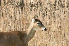 gama Blanco-atada de los ciervos en malas hierbas Imagenes de archivo