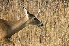 gama Blanco-atada de los ciervos en malas hierbas Fotografía de archivo