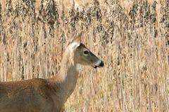 gama Blanco-atada de los ciervos en malas hierbas Fotografía de archivo libre de regalías