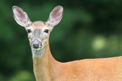 gama Branco-atada dos cervos foto de stock
