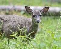 Gama, ciervo que come la hierba Foto de archivo