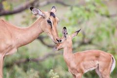 A gama da impala acaricia seu cordeiro recém-nascido no ambiente perigoso Imagens de Stock