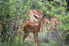 Gama da impala na vigia Fotos de Stock Royalty Free