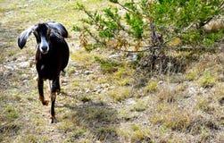 Gama de la cabra de la leche de Nubian imagen de archivo