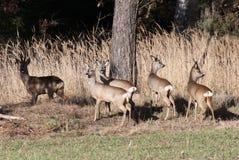 Gama de los ciervos imagen de archivo