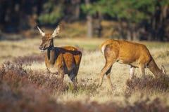 Gama de los ciervos comunes o trasero femenina, elaphus del Cervus foto de archivo libre de regalías