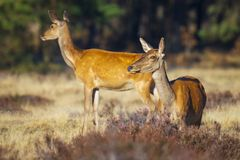 Gama de los ciervos comunes o trasero femenina, elaphus del Cervus foto de archivo