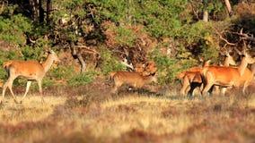 Gama de los ciervos comunes o trasero femenina, elaphus del Cervus almacen de metraje de vídeo