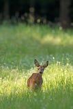 Gama de los ciervos de huevas Imagen de archivo libre de regalías