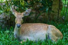 Gama de los ciervos de huevas Fotos de archivo