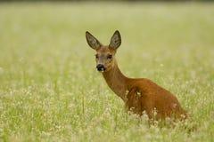 Gama de los ciervos de huevas que se sienta en alforfón Foto de archivo libre de regalías