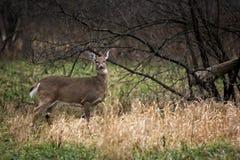 Gama de los ciervos de la cola blanca Imagen de archivo libre de regalías