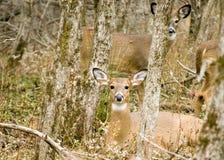Gama de los ciervos de Whitetail Fotos de archivo