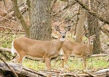 Gama de los ciervos de Whitetail Imagen de archivo