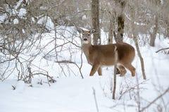 Gama de los ciervos de Whitetail Foto de archivo