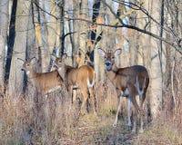 Gama de los ciervos de Whitetail Fotos de archivo libres de regalías