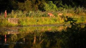 Gama de los ciervos de Whitetail con los cervatillos almacen de metraje de vídeo