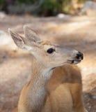 Gama de los ciervos mula Foto de archivo libre de regalías