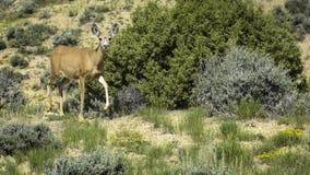 Gama de los ciervos mula Imagen de archivo libre de regalías