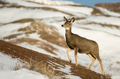 Gama de los ciervos mula en la nieve en parque nacional de los Badlands Foto de archivo libre de regalías