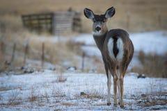 Gama de los ciervos mula que mira detrás imagen de archivo libre de regalías