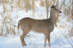 Gama de los venados de cola blanca que se coloca en nieve del invierno imagenes de archivo