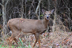 Gama do Whitetail Imagem de Stock