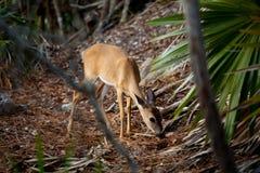 Gama dominante de los ciervos en las llaves azules de la Florida del agujero imagen de archivo