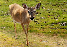 Gama dominante joven en peligro de los ciervos Fotografía de archivo libre de regalías