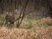 Gama dos cervos da cauda branca Imagens de Stock