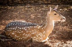 Gama dos cervos de Chital (linha central da linha central) que encontra-se na terra imagens de stock royalty free