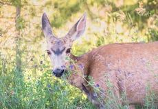A gama dos cervos de mula com alfafa floresce no por do sol na mola atrasada imagem de stock royalty free