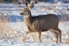 Gama dos cervos de mula que consulta na neve fotos de stock
