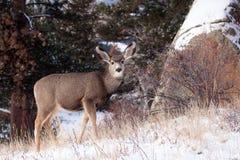 Gama dos cervos de mula que procura o alimento fotos de stock royalty free