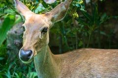Gama dos cervos de ovas Imagem de Stock Royalty Free