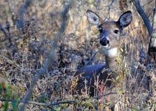 Gama dos cervos de Whitetail Fotos de Stock