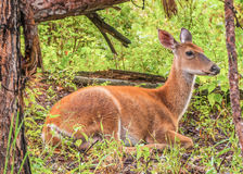 Gama dos cervos de Whitetail Foto de Stock Royalty Free